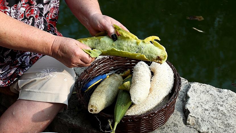 Lufa: slupka na zralých plodech je tenká a sama se začíná z plodu olupovat