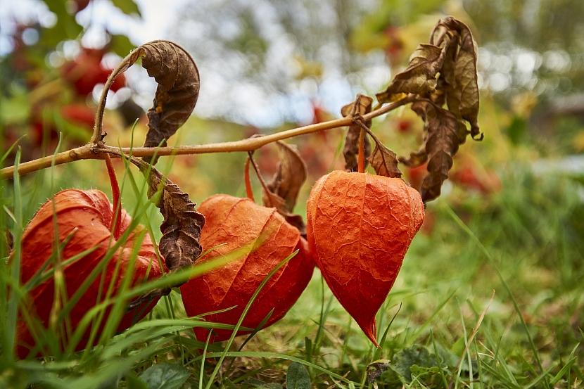 Kalichy zůstávají na stonku i po opadu listů