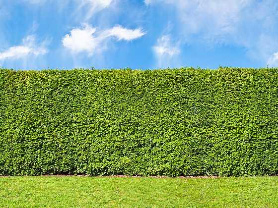 Živý plot potřebuje péči (Zdroj: Depositphotos)