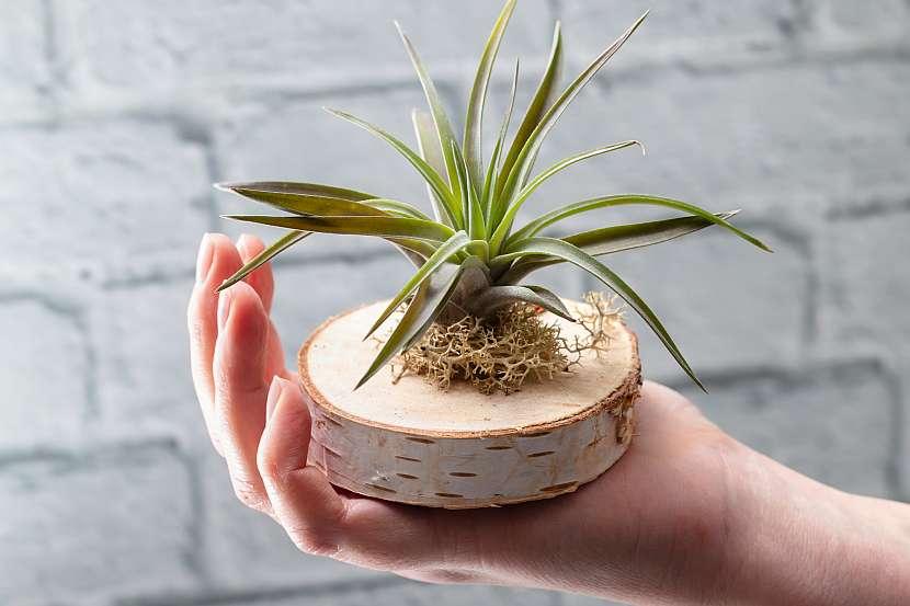 Vzdušné rostliny bohužel po vykvetení uhynou. Nahradí ji však nové malé rostlinky