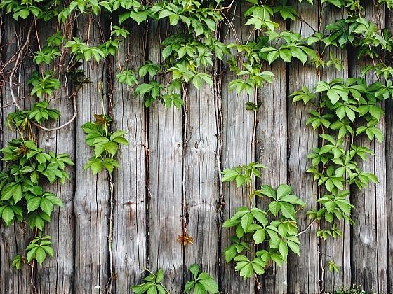 Popínavé rostliny ozdobí i jinak nevzhledný dřevěný plot (Zdroj: Depositphotos)