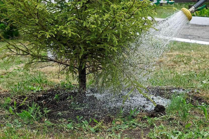 Jehličnany po výsadbě pravidelně zalévejte