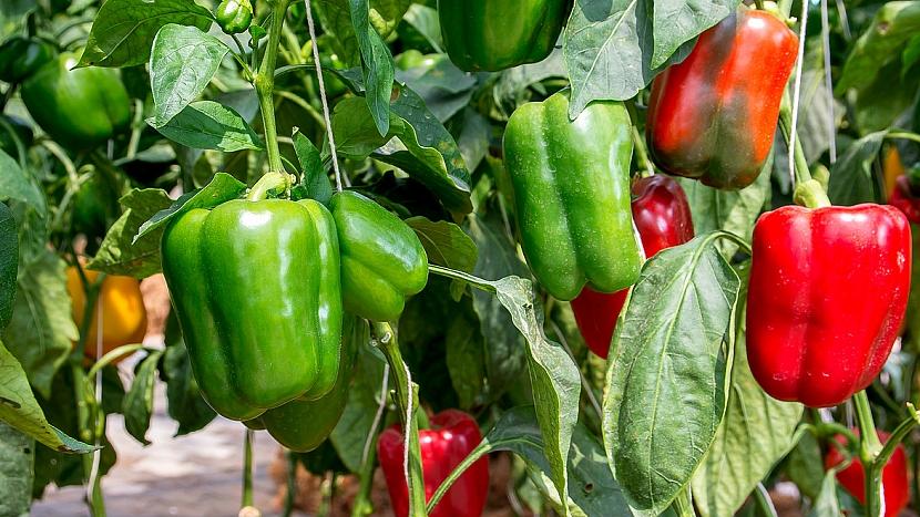 Jak pěstovat zeleninu pro labužníky 5