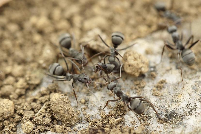 mravenci