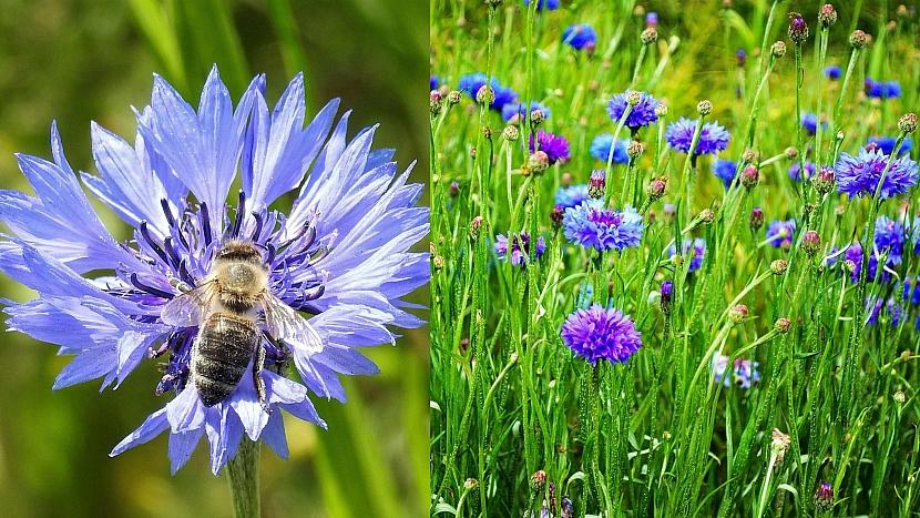 Přilákejte včelky na hostinu: Chrpa (Centaurea)
