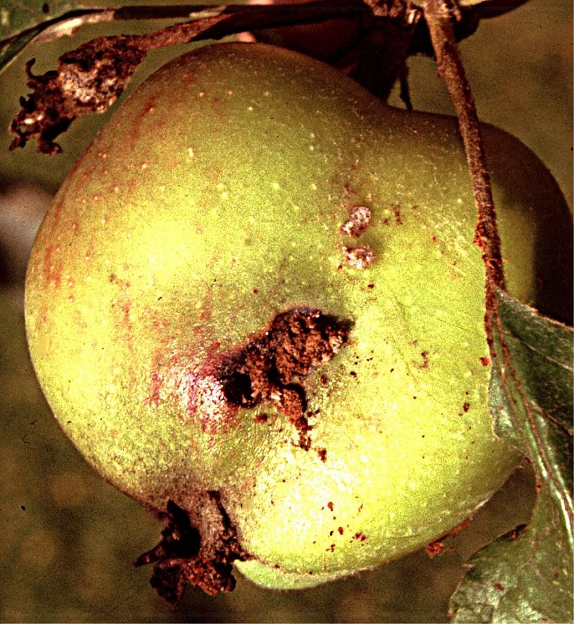 Obaleč jablečný