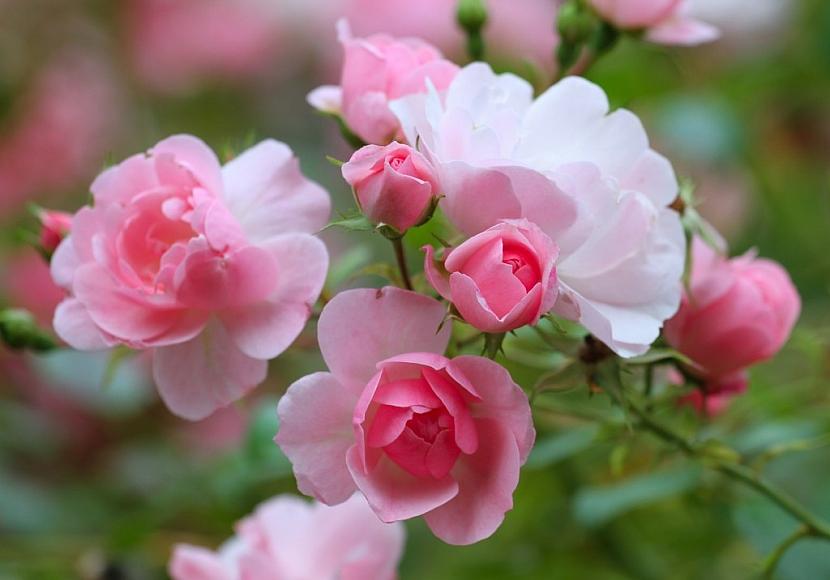 Růže najdete na většině zahrádek