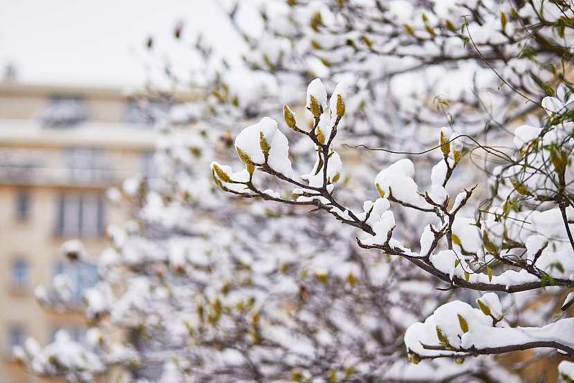 Magnolie jsou sice mrazuvzdorné, ale i tak potřebují před zimou chránit. Měly by být přikryty vrstvou čerstvého kompostu