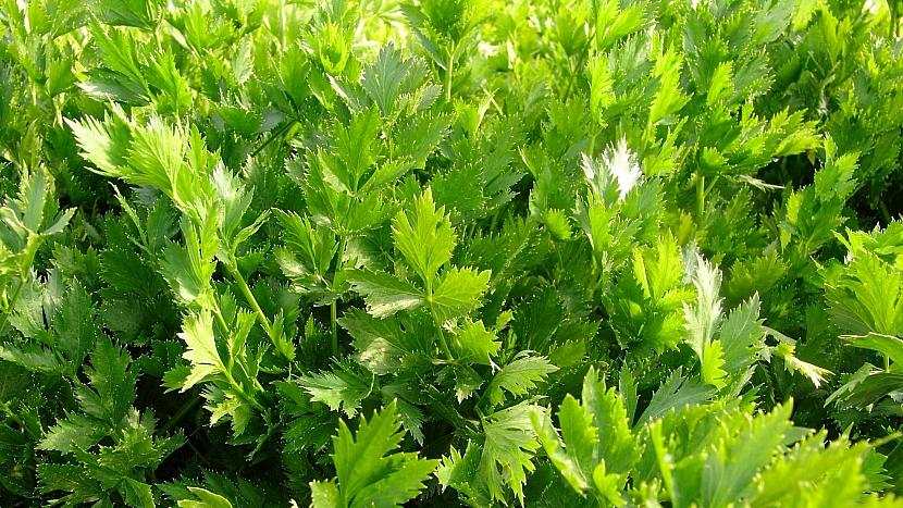 Celer listový (naťový), odrůda JEMNÝ
