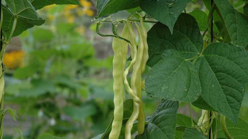 Tyčkové fazole: pozdní odrůda ZÁZRAK Z BENÁTEK