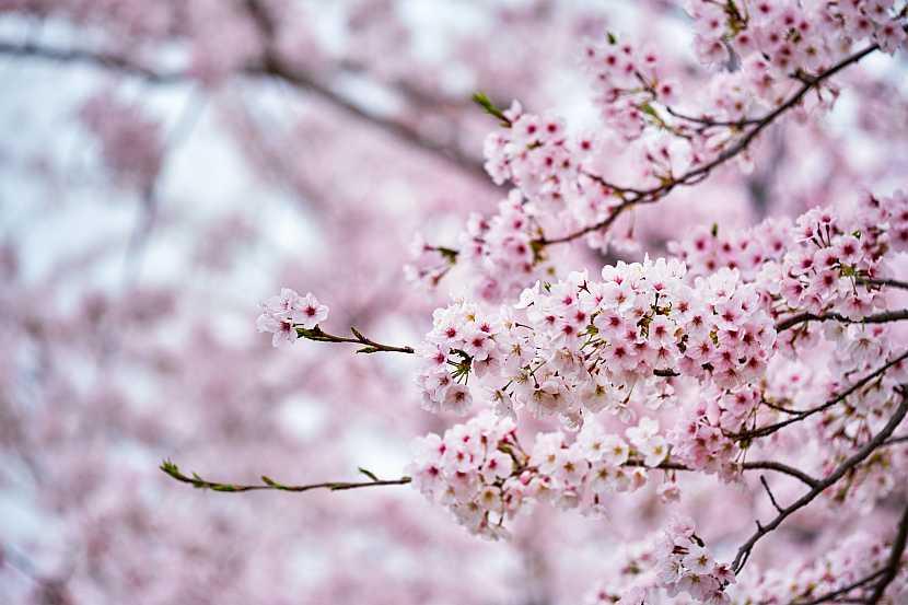 Květy sakur