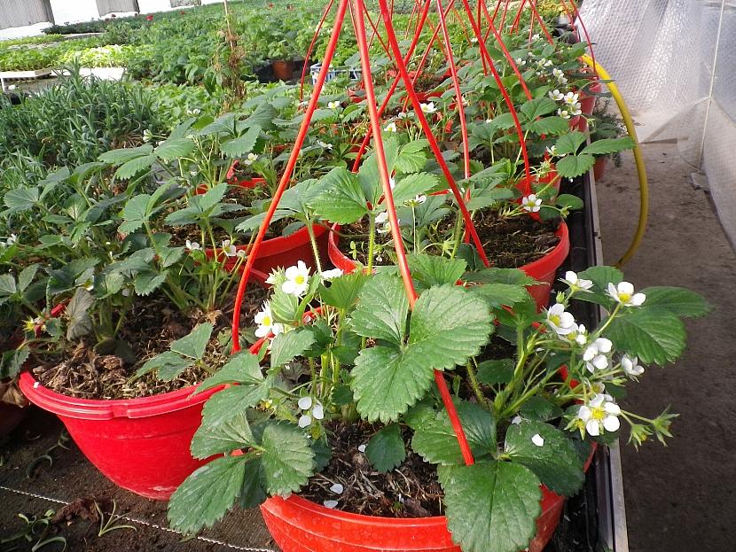 Převislé jahody v závěsných květináčích
