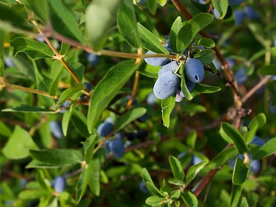 Zimolez kamčatský by neměl chybět na žádné zahradě (Zdroj: Depositphotos.com)