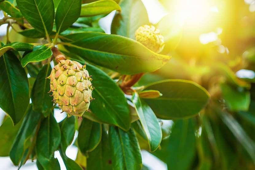 Magnolii je možné pěstovat od semene. Je to však poměrně složité i pro zkušeného zahradníka