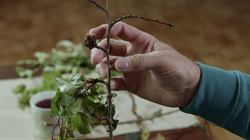 Seschlý plod na větvi