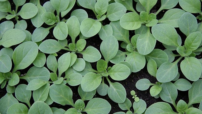 Předpěstujte si petúnie: mladé rostlinky