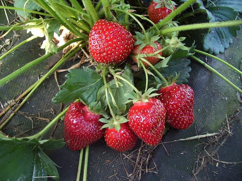 Odrůda Frikonsa se honosí plnými plody a tmavou barvou