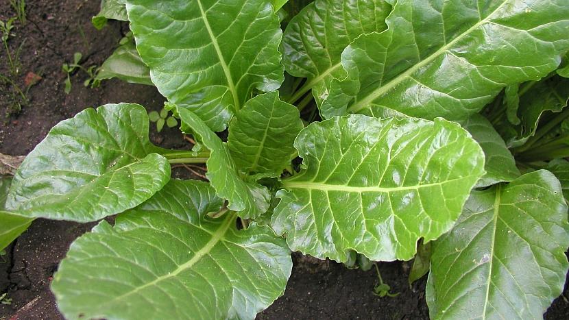 Odrůda Perpetual Spinach (Gator)