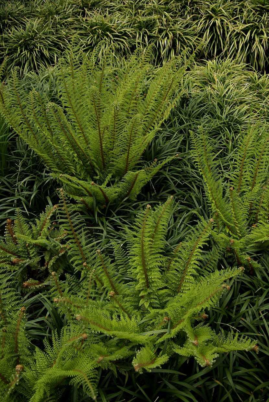 5 kaprad osténkatá (polystichum setiferu) se spokojí i se sušší lokalitou