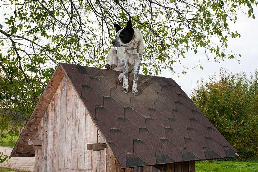 Pes na střeše