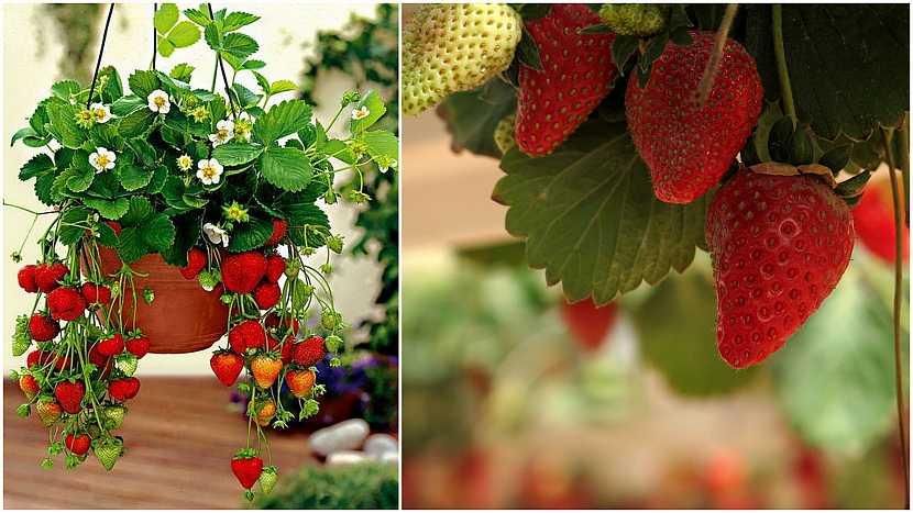 Jak vypěstovat čisté jahody: Balkonové truhlíky