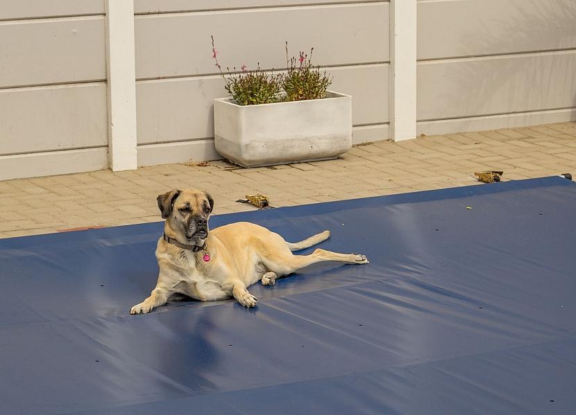 Pes na krycí plachtě na bazén