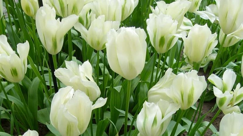 Jak na jaře pečovat o skutečné krále jarní zahrady: Tulipány 7