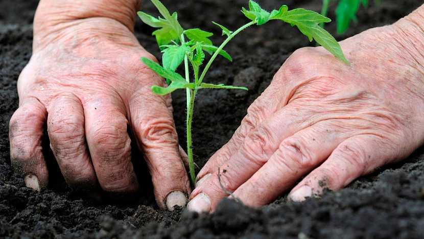 Zápasy sázení rajčat: šikmo položené sazenice a zahrňte zeminou
