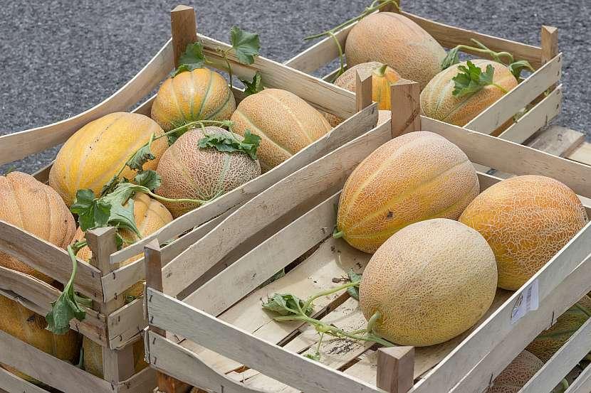 Melouny v lískách