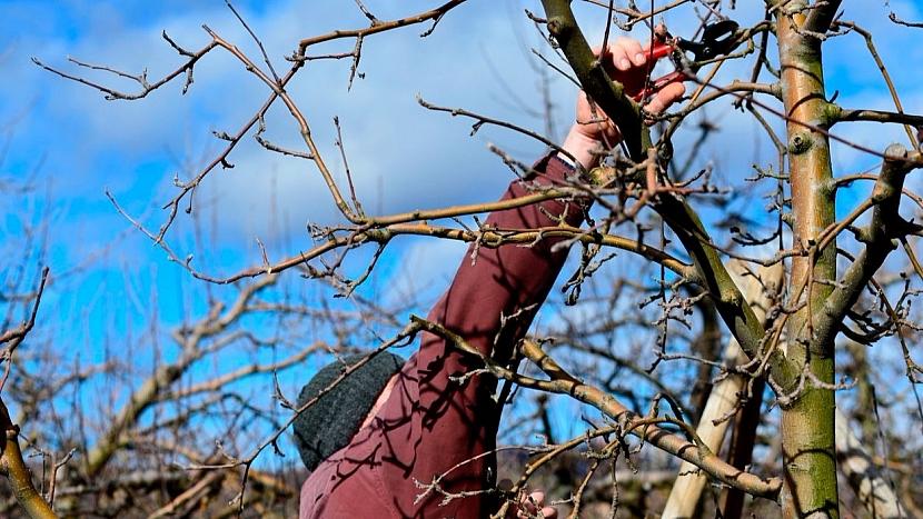 Zimní řez jabloní a hrušní musíme stihnout do rašení: jabloně jsou otužilé stromy