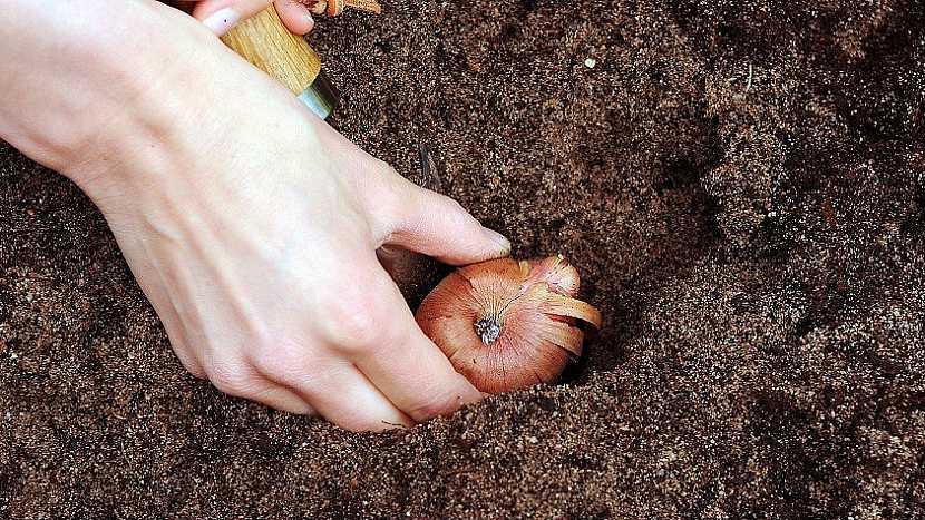 Jak a kdy zasadit gladioly: Chcete-li se radovat z květů postupně, vysazujte hlízy na etapy 5