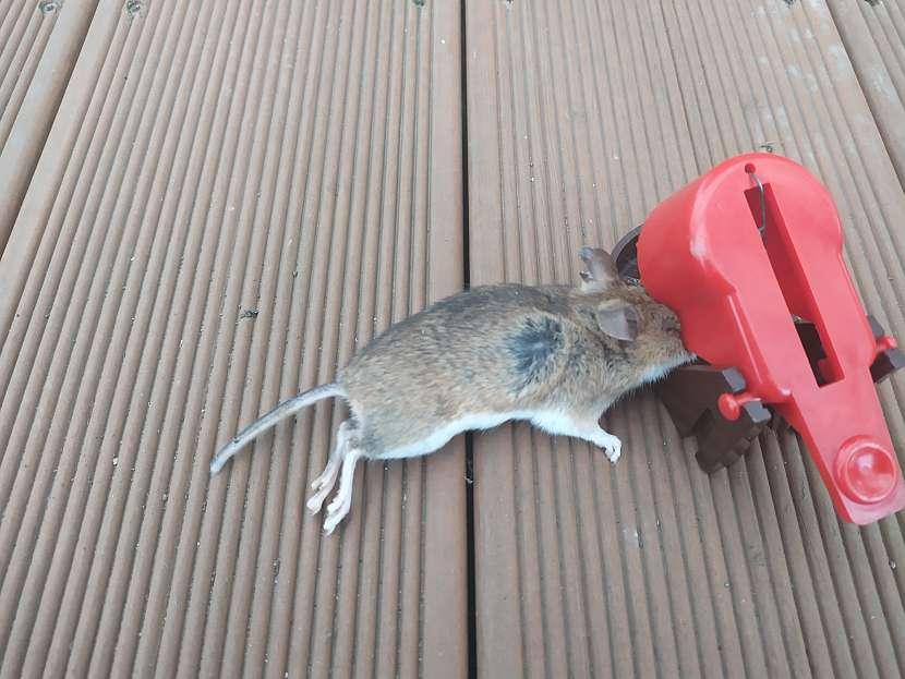 Odchyt myší do pastiček