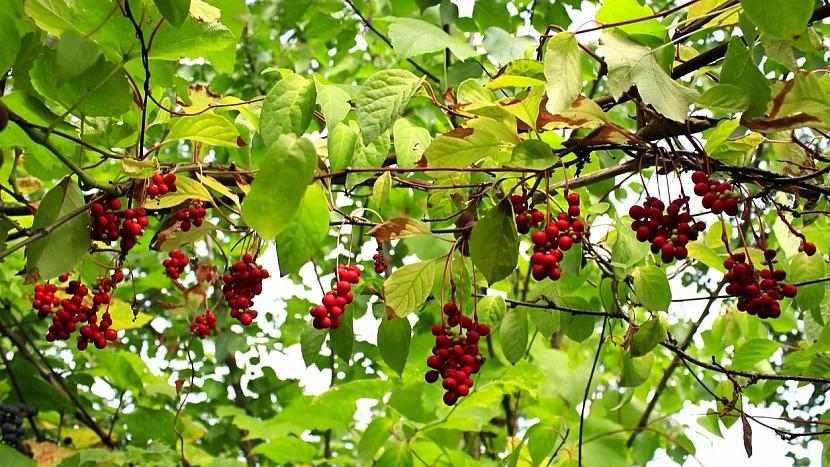 Jak pěstovat bylinu mládí, svěžesti a dlouhověkosti 2