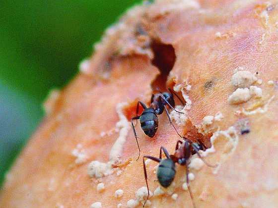 Mravenci mají velmi dobře vyvinutý a citlivý čich (Zdroj: Ludmila Dušková)