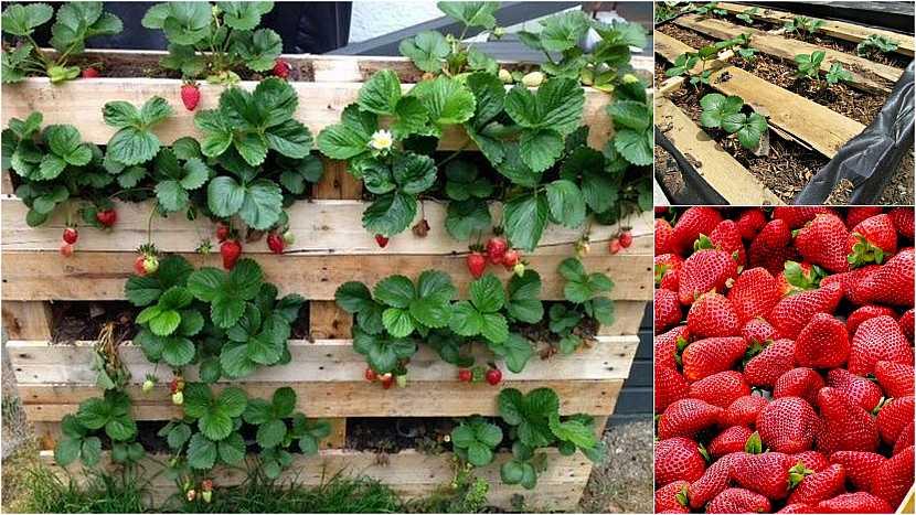 Jak vypěstovat čisté jahody: Recyklované palety