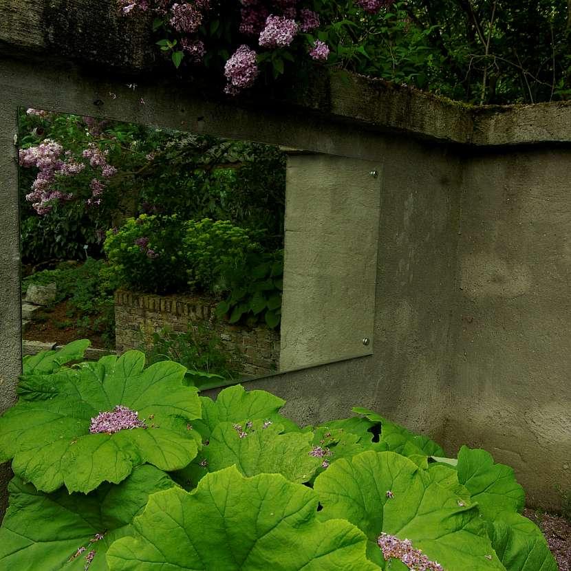 Rodgersia, Astilboides tabularis