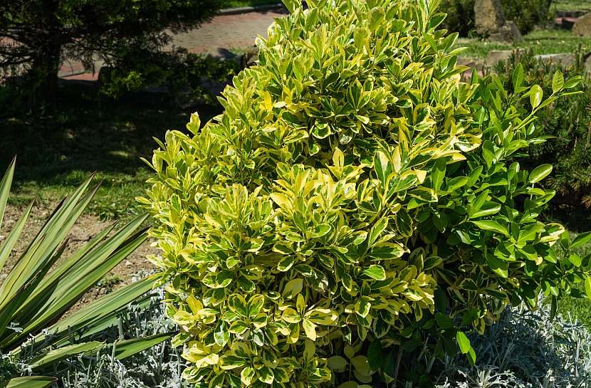 Brslen japonský Euonymus japonicus 'Aureo-Marginata', preferuje chráněné teplejší stanoviště