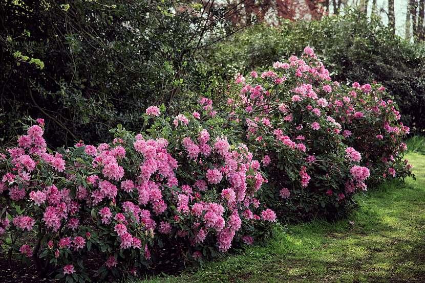Pěnišníky jsou bezesporu nekorunované královny stinné zahrady