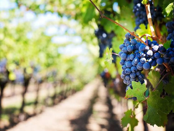 Hroznové víno je pro naše zdraví nepostradatelné (Zdroj: Pexels)
