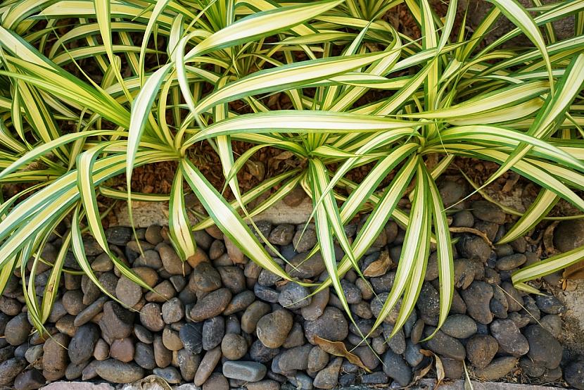 Kvetiny do koupelny: Zelenec (Chlorophytum)