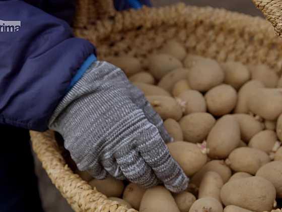 Sadbové brambory (Zdroj: Prima DOMA)