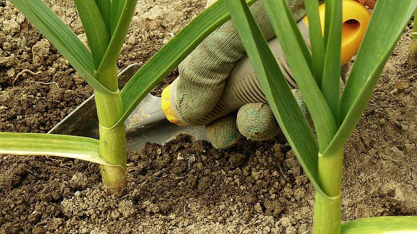 Jarní výsadba česneku: během vegetace česnek okopávejte