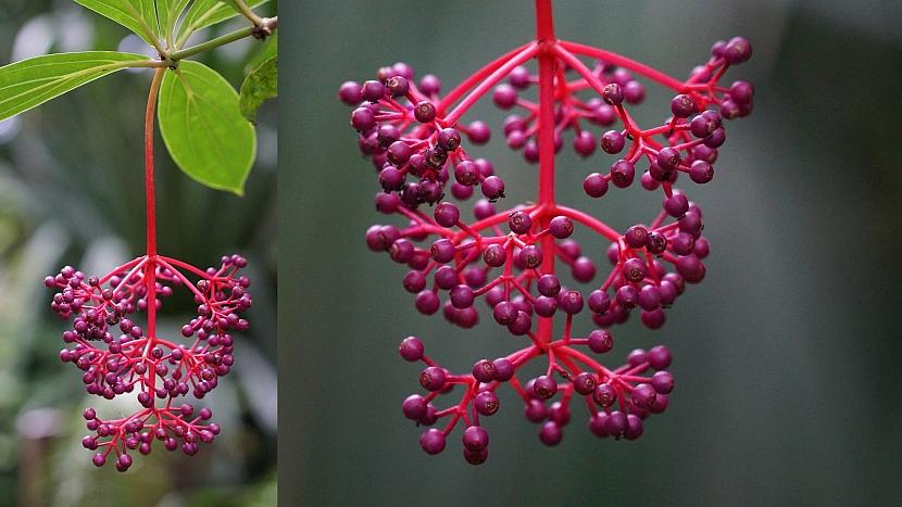 Plodem tupouška jsou fialové bobule