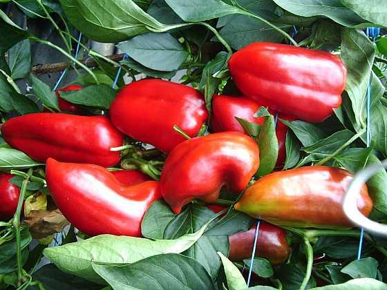 Pokud se v lednu postaráme o výsevy zeleniny, budeme moci sklízet první úrodu již před nástupem léta. Které druhy vyséváme v lednu? (Zdroj: Ludmila Dušková)