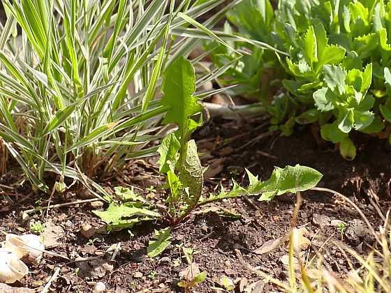 Plevele v zahradě: jak je zlikvidovat bez postřiků? (Zdroj: Prima DOMA)