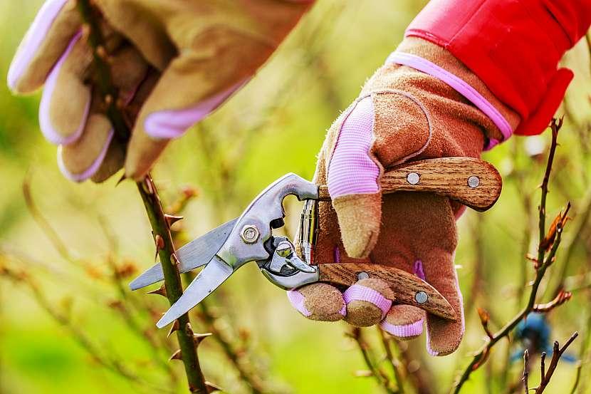 Keříkové růže na podzim zastřihněte a odstraňte všechny divoké výhony