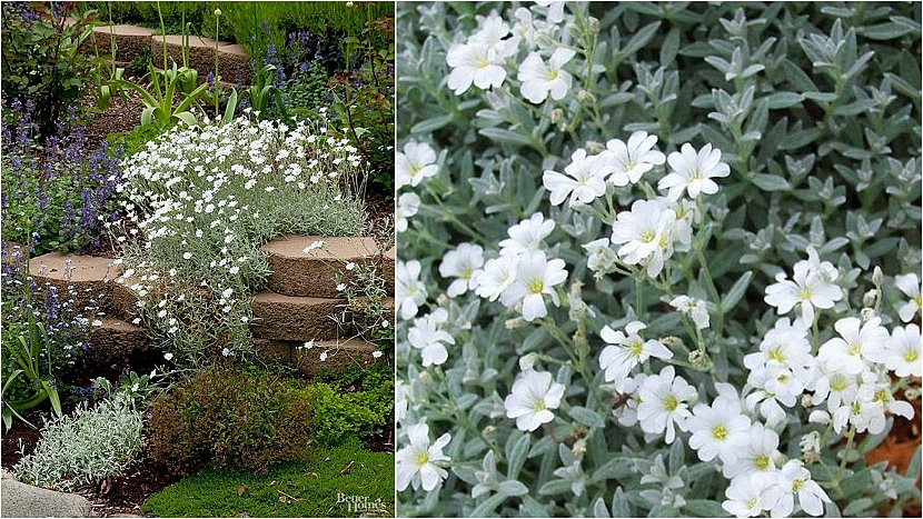 Rožec plstnatý (Cerastium tomentosum)