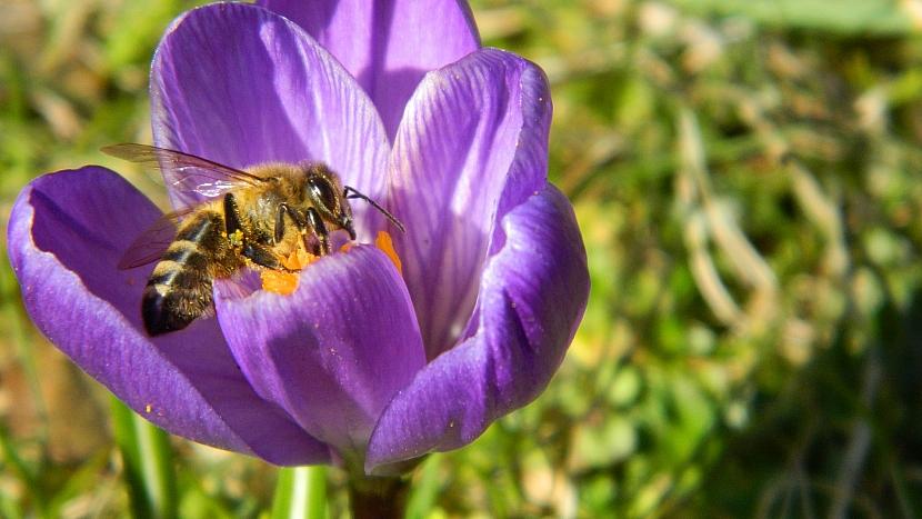 Také krokusy mají včelky rády
