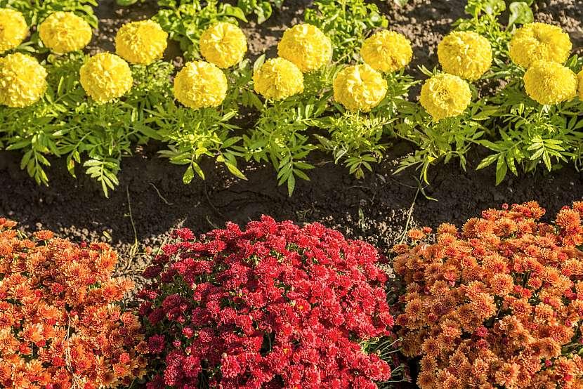 Chryzantémy a měsíček