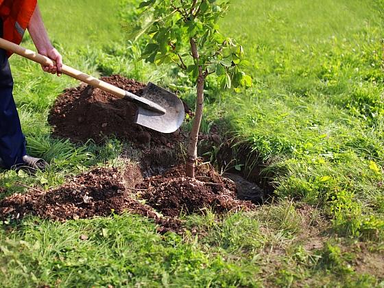 Výsadba stromů v zemním balu (Zdroj: Zahradnictví flos)